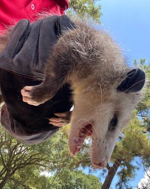 Wildlife Opossums Removal Near Houston