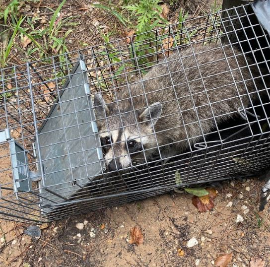 Wildlife removal - raccoon removal