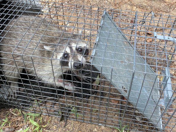 Wildlife Removal | Raccoon Removal Houston