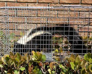 skunk_control-houston