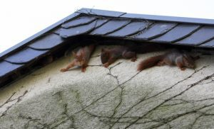 Squirrels Going Into House Attic